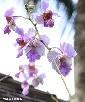 Vanda Miss Joaquim 💜 Flower